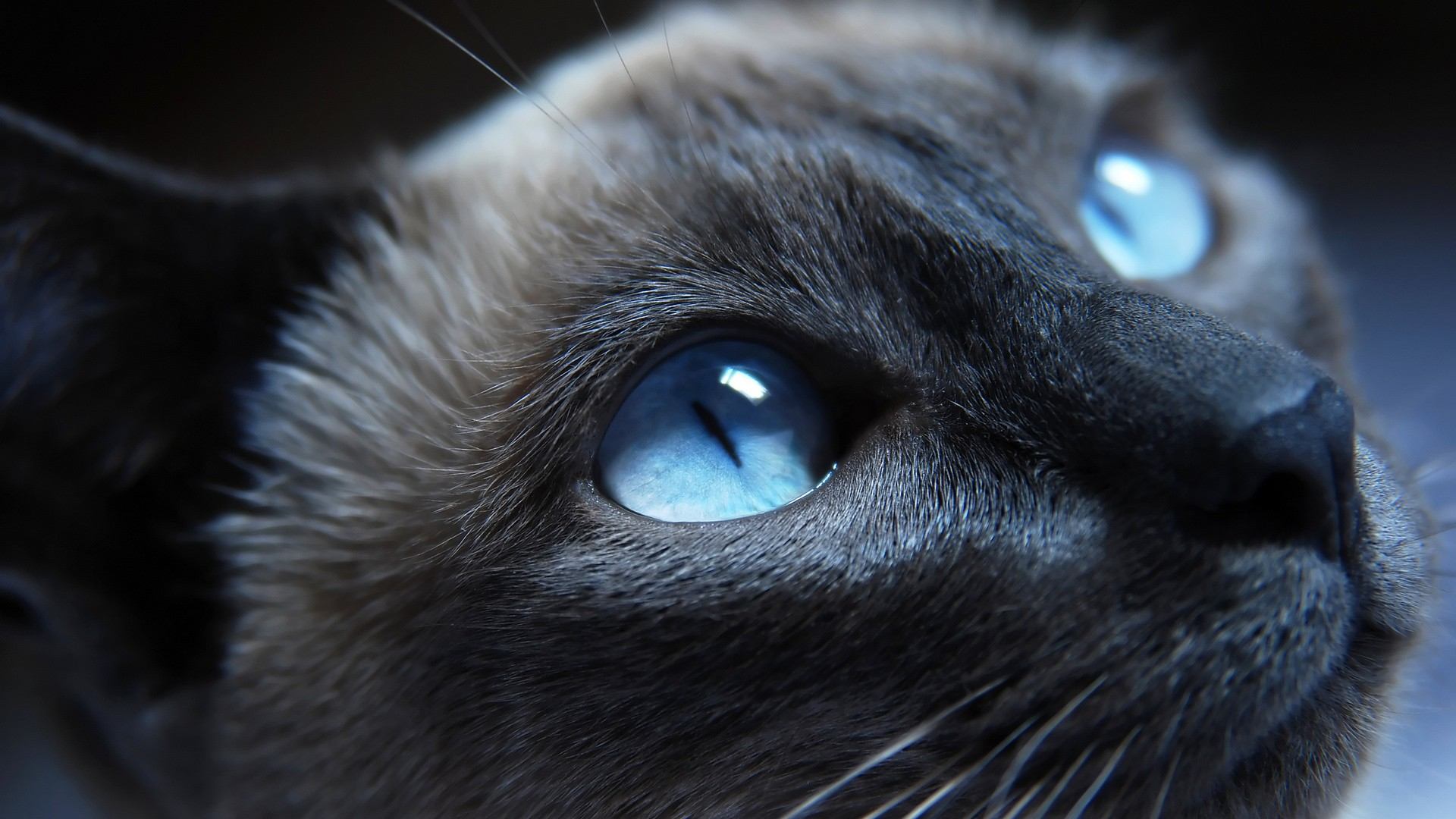 Fond Ecran Animal Gratuit Chat Yeux Bleu Regard Wallpaper Hd Cats Blue Eyes World Language Centre